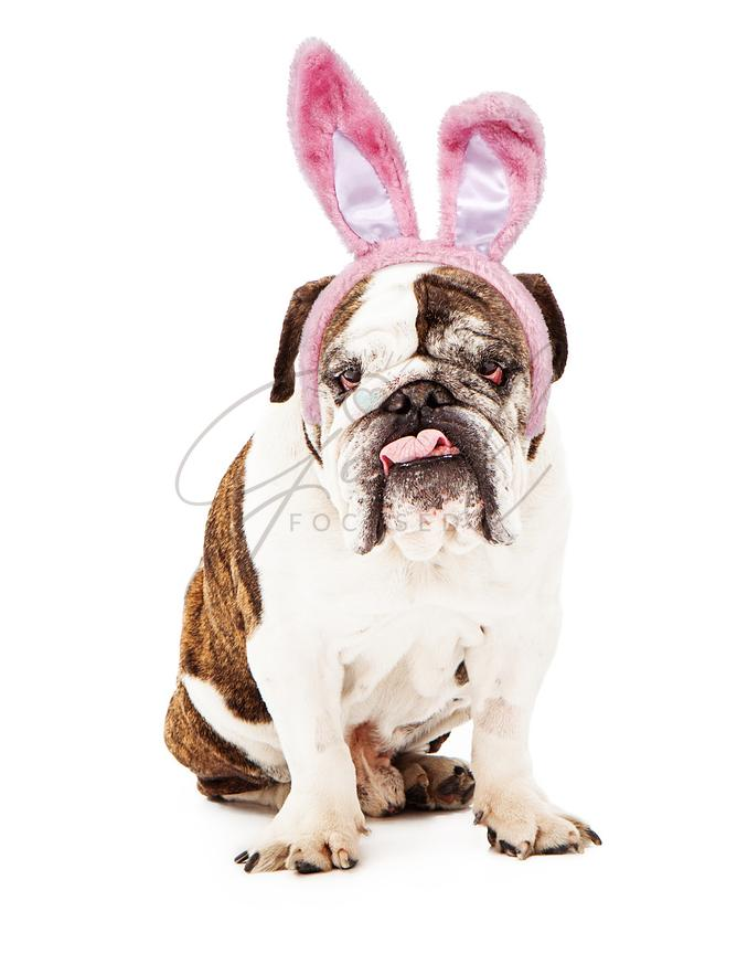 English Bulldog Wearing Bunny Ears