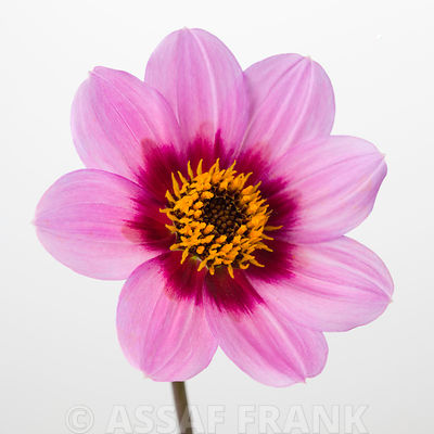 Dahlia flower, close-up