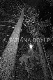Ponderosa pines - Pinus ponderosa under night skies