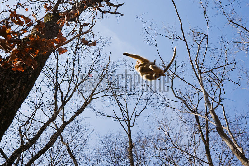 Snub-nosed Golden Monkey Jumping to Tree