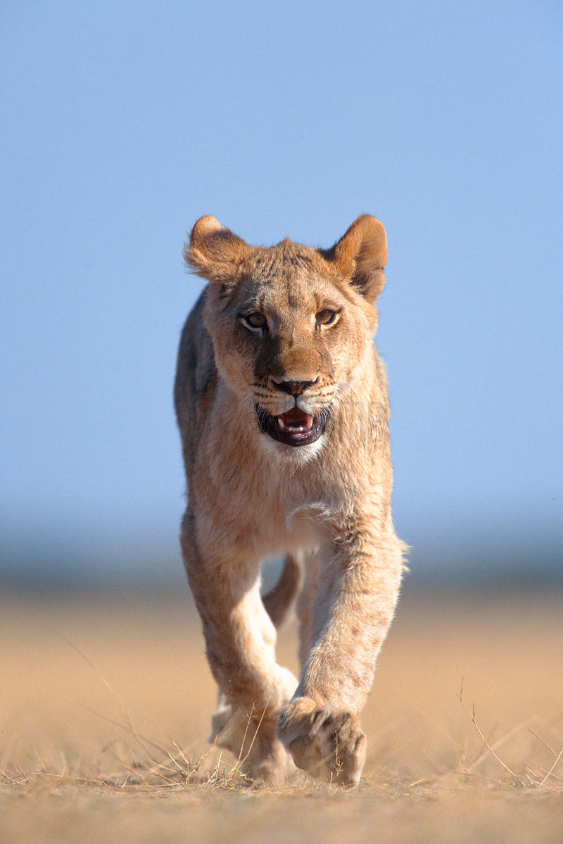 Low Angle of Lion Walking Towards Camera