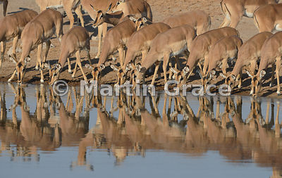 Black-Faced Impala (Aepyceros melampus petersi) drinking from Chudob waterhole, Etosha National Park, Namibia