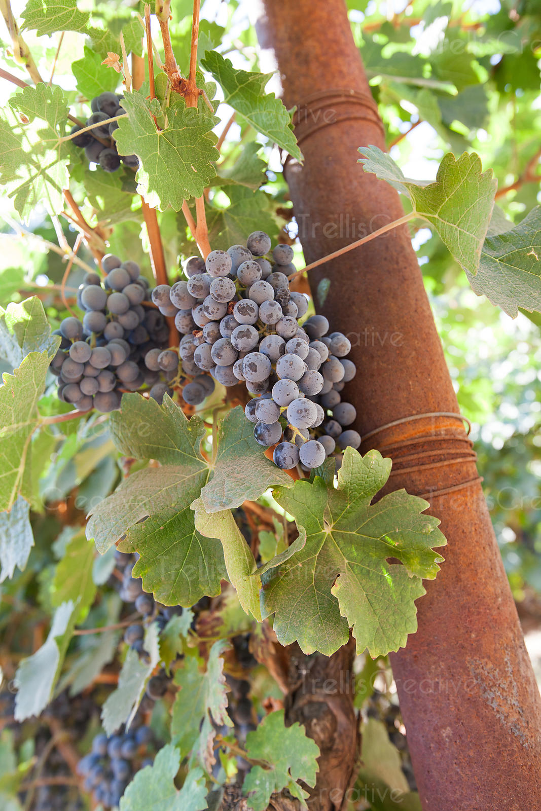 Close-up of red grape clusters on a vine