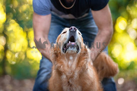 Blissed out Golden Retriever getting butt scratches from Dad