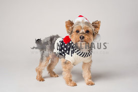 Yorkshire terrier in sweater and santa hat standing on white background