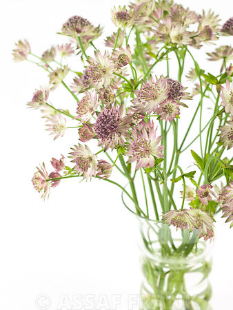 Astrantia flowers in a vase