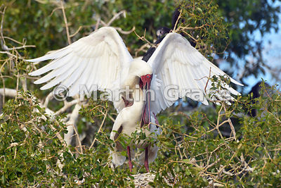 African Spoonbills (Platalea alba) mating, River Chobe, Botswana: Image 2 of 3 to show the wings of the male in different pos...