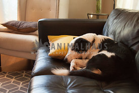 sleeping dog on sofa