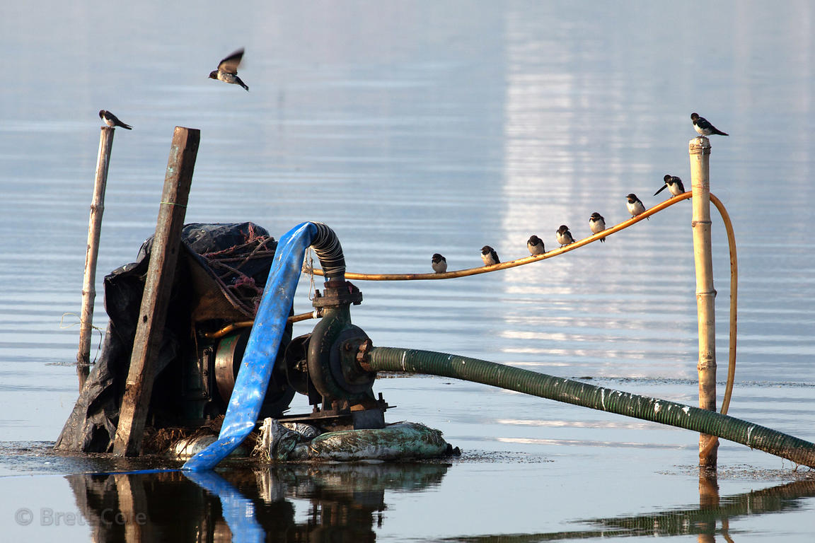 Songbirds (sp.) in a row on a wire on a pump in the Ganges River, Varanasi, India.