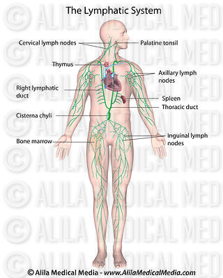 Labeled diagram of human lymphatic system