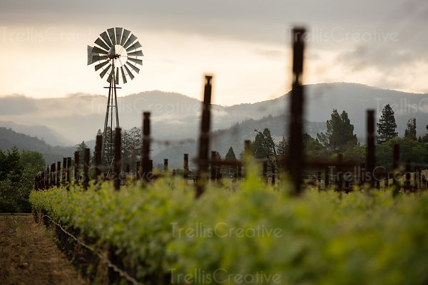 Windmill in a vineyard