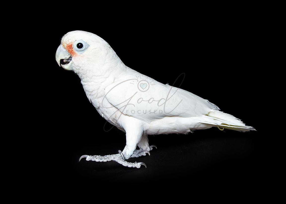 Goffin's Cockatoo Bird - Side View