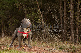 strong pitbull with red harness in woods