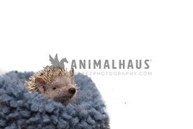 tenrec small animal in blanket on white background
