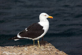 Adult Kelp or Dominican Gulls (Larus dominicanus)