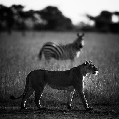 8035-Lioness_with_a_zebras_Laurent_Baheux