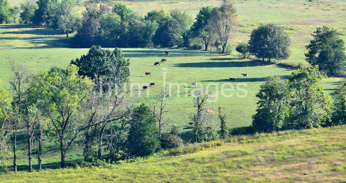 Distant view of cows in the field