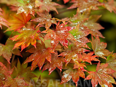 Colorful leaves of maple