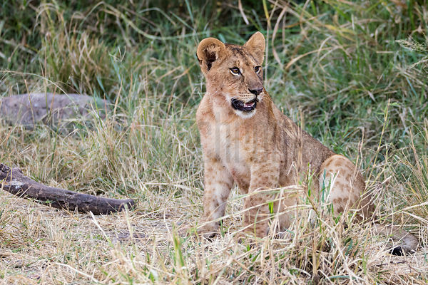 A Lion Cub in Long Grass