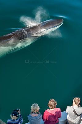 Aerial view of Fin whale (Balaenoptera physalus) surfacing and blowing with whale watchers. Sea of Cortez, Baja California, M...