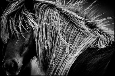 White mane of black wild horse, Iceland 2015 © Laurent Baheux