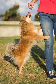 orange pomeranian standing on two legs receiving treats from female owner