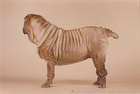 Photo d'un chien de race Shar Pei