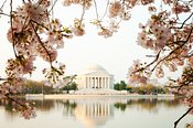 Jefferson Memorial With Reflection and Cherry Blossoms