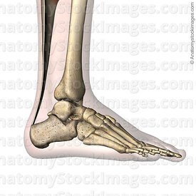 ankle-achilles-tendon-calcaneus-foot-lateral-skin