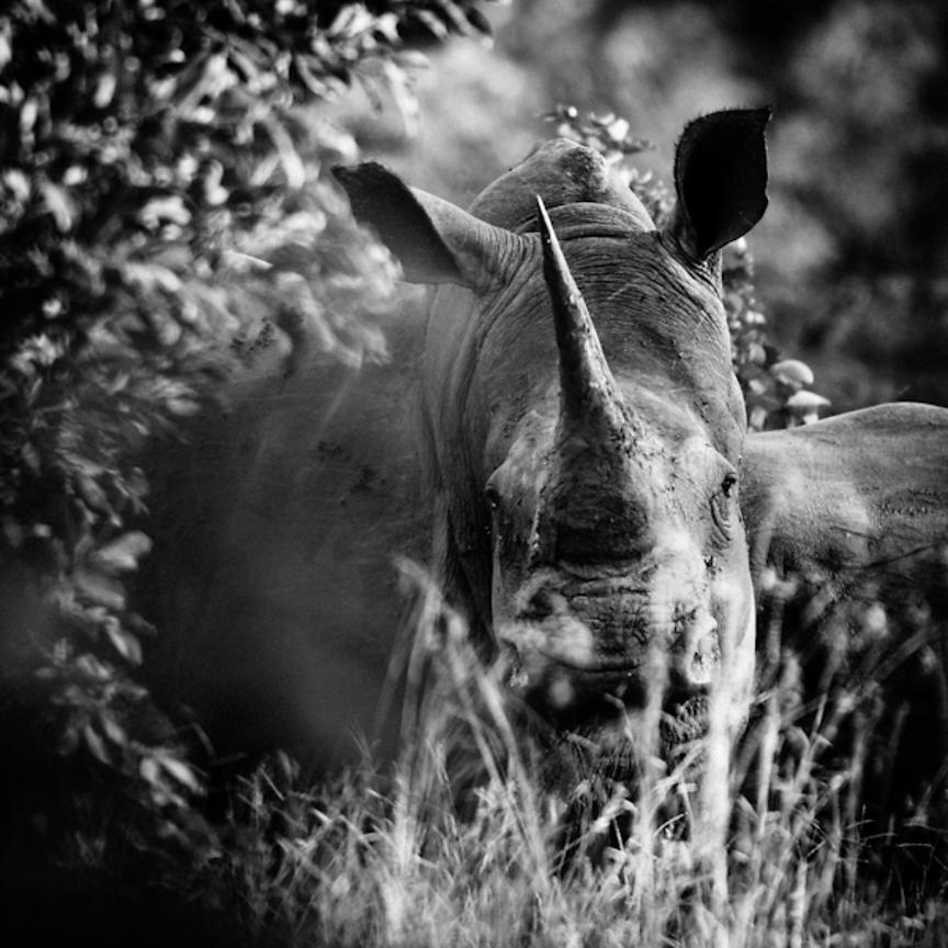 4288-White_rhino_through_the_grass_Laurent_Baheux