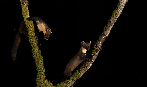 Another Pine Marten duo