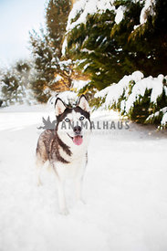 Siberian Husky in snow with evergreens
