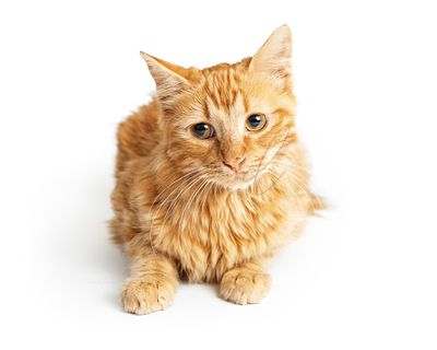 Orange Tabby Cat Tilting Head
