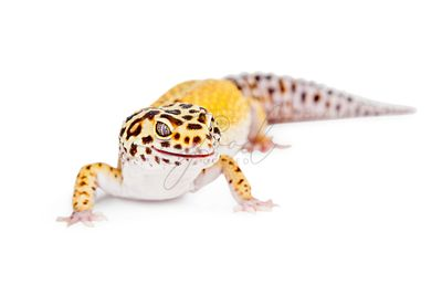 Yellow and Brown Leopard Gecko