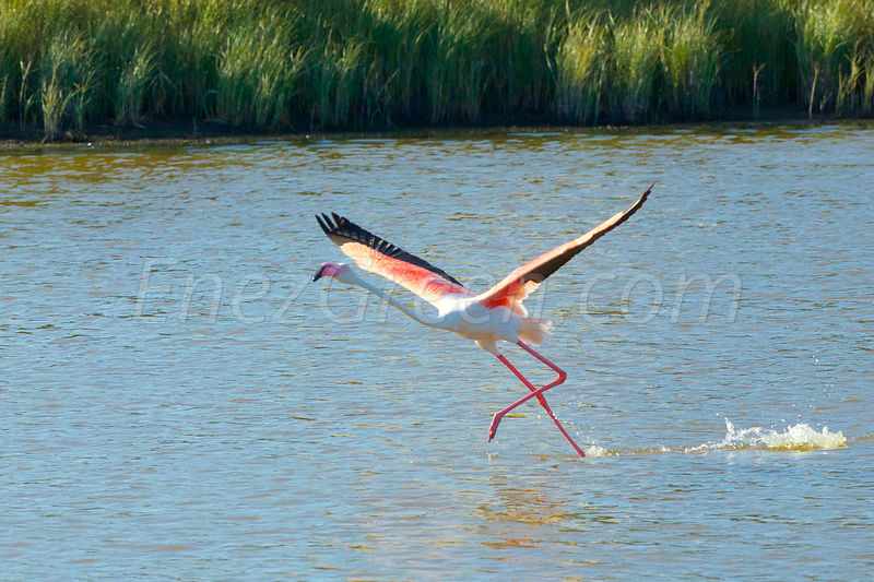Sardaigne Flamants roses