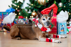 Senior dog laying in front of holiday tree with presents