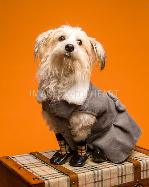 Small white fluffy dog in overcoat and shoes.jpg