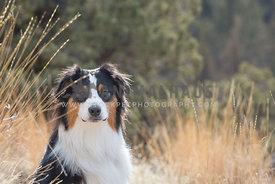 close up of dog sitting in tall grass with eye contact