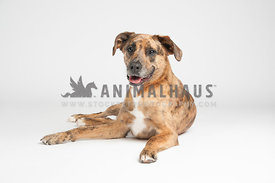 brindle mixed breed lab hound laying comfortably on white background
