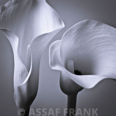 Two Calla Lilies