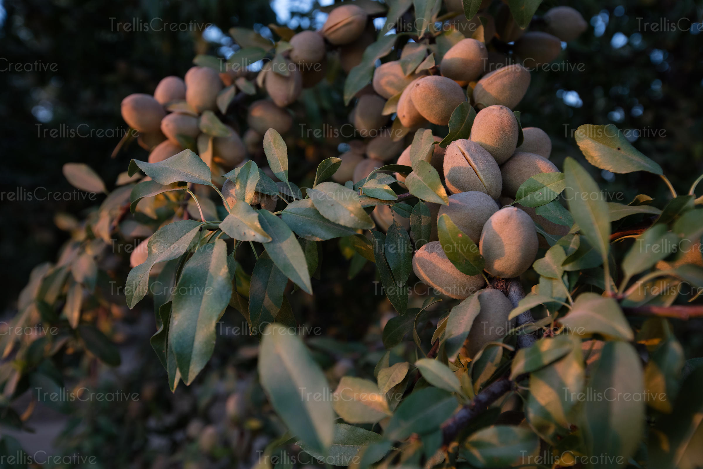 Close-up of a branch of unpicked almonds on a tree