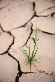 Tenacious life: grass growing in dried cracked mud