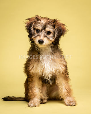 Small shaggy puppy on yellow