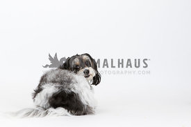 cavachon dog laying down in studio looking back behind