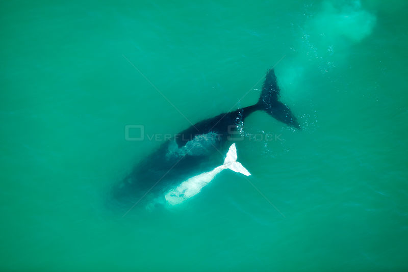 Aerial photograph of Southern Right Whale (Eubalaena australis) with white calf, near Cape Agulhas, South Africa, Southern Ri...