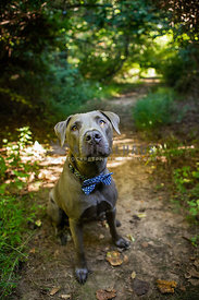 blue pitbull with blue bowtie sitting on trail in woods