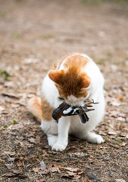 Cat´s catch - Chaffinch