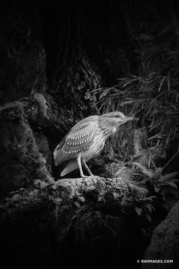 JUVENILE BLACK CROWNED NIGHT HERON CUMBERLAND ISLAND GEORGIA BLACK AND WHITE