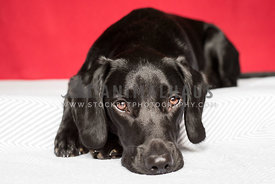 Black labrador cross laying on grey blanket with red background