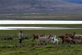Local man herding llamas near Laguna Pujzara, Cordillera de Sama Biological Reserve, Bolivia
